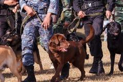 战争训练狗  库存照片