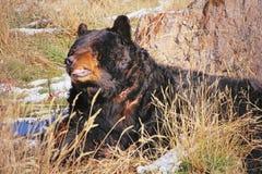 战伤黑熊 免版税库存照片