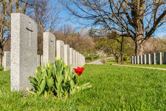 战士坟茔在有红色郁金香的蒙特利尔公墓在springtim 库存图片