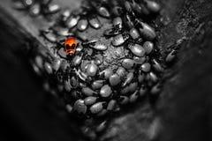 战士甲虫领导 免版税库存图片