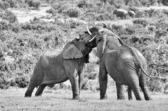 战斗两头男性的非洲大象,南非 单色 免版税库存图片