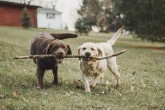 战斗为棍子的巧克力和黄色拉布拉多猎犬姐妹 库存图片