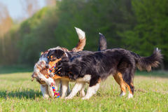 战斗为玩具的三只澳大利亚牧羊犬 免版税库存图片