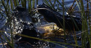 战斗为疆土的美洲鳄 免版税库存图片