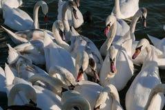 战斗为食物的美丽的白色天鹅 免版税库存图片