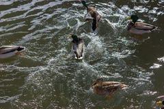 战斗为食物的鸭子在晴朗的河在一12月出现天 图库摄影