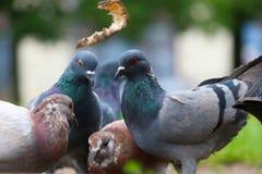 战斗为食物的鸽子 库存照片