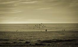 战斗为食物, Carmel加利福尼亚的海鸥 免版税库存照片