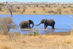 战斗从克留格尔国家公园,非洲象属africana的大象 免版税库存图片