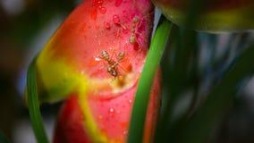 战斗在一朵红色热带湿花的大橙色蚂蚁宏观摄影在雨以后 免版税库存图片