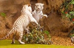 战斗在两只白色老虎之间 库存照片