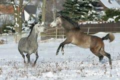 战斗在冬天的两匹公马 免版税库存照片