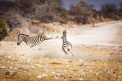 战斗在埃托沙国家公园的两匹斑马,在纳米比亚 免版税库存照片