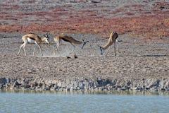 战斗在埃托沙国家公园,纳米比亚,非洲的跳羚 库存照片