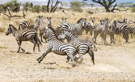 战斗在塞伦盖蒂平原的两匹斑马  免版税图库摄影
