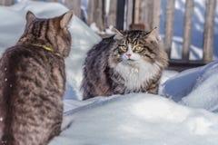 战斗在多雪的街道上的两只猫 图库摄影