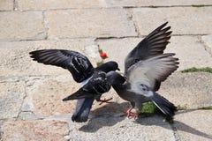 战斗在天时间的天时间的鸽子 库存图片