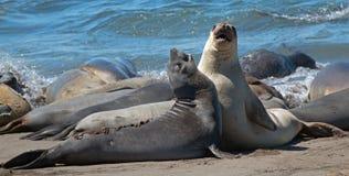 战斗在太平洋的北海象在加利福尼亚中央海岸的Piedras Blancas海象群  库存照片