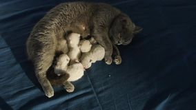 战斗在妈妈` s的新出生的小猫从上面挤奶,观看 股票视频