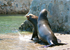 战斗在小游艇船坞小船发射的食物的公加利福尼亚海狮在Cabo圣卢卡斯巴哈墨西哥 库存照片