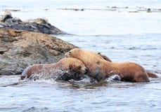 战斗在岩石,种族岩石海洋储备,维多利亚, B的斯特勒海狮 C 注意电总线系统顶上的台车导线 免版税图库摄影