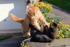战斗在庭院的两只猫 库存图片