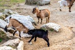 战斗在欧宝动物园,克尼格斯泰因伊姆陶努斯里的山羊 免版税库存照片