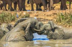 战斗在泥的大象 免版税库存图片