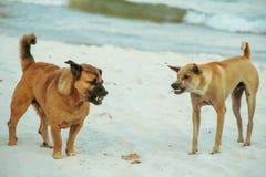 战斗在海滩的狗 免版税库存照片