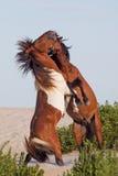 战斗在海滩的两个野生小马 免版税库存照片