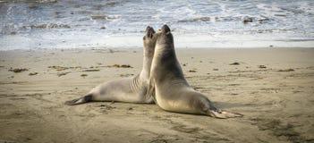 战斗在海滩的海象 库存图片
