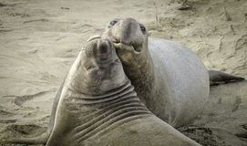 战斗在海滩的海象 免版税图库摄影