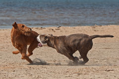 战斗在海滩1的狗戏剧 库存图片