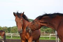 战斗在牧群的二匹棕色马 免版税库存照片