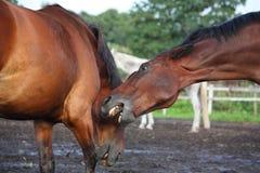 战斗在牧群的二匹棕色马 库存照片