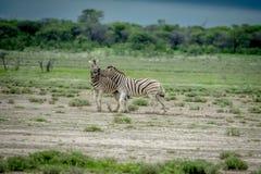 战斗在草的两匹斑马 免版税图库摄影