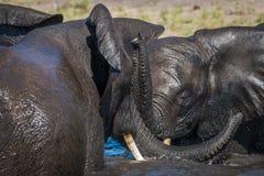 战斗在阳光下的大象戏剧特写镜头 免版税库存图片