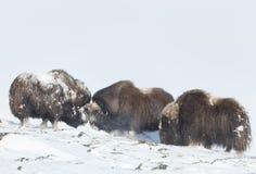 战斗在雪的公麝牛 免版税库存照片