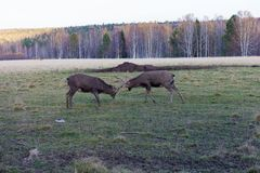 战斗在领域的两个鹿大型装配架 库存照片