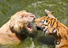 战斗在水中的两只公老虎 免版税库存照片