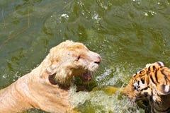 战斗在水中的两只公老虎 免版税库存图片