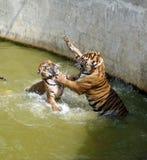 战斗在水中的两只老虎 免版税库存图片