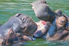 战斗在水中的河马 库存照片