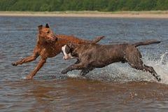 战斗在水中的狗戏剧 免版税库存图片