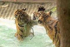 战斗在水池的老虎 库存图片