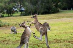 战斗在tomango澳大利亚的袋鼠 免版税图库摄影