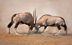 战斗大羚羊 库存照片