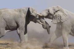 战斗大象 库存照片