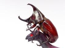 战斗或战斗与黑玩具恐龙的犀牛甲虫隔绝在白色背景 免版税库存照片