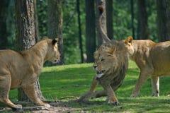 战斗狮子 库存照片